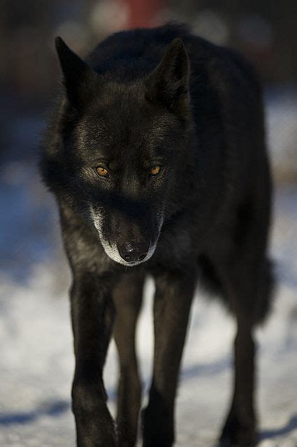 raccoons  wolves images  pinterest