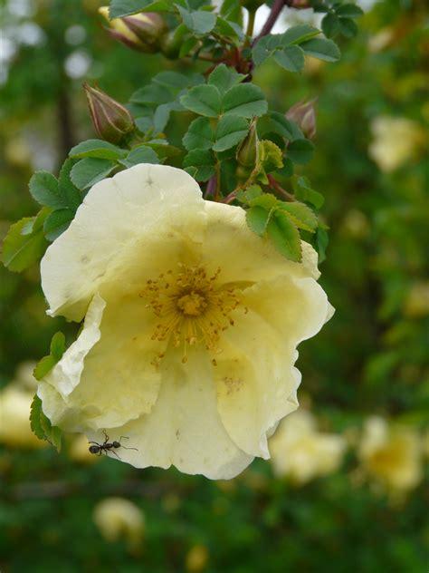 So Finden Sie Die Passende Rosensorte by Bienenfreundliche Staudeng 228 Rtnerei Gai 223 Mayer