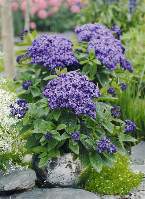 Balkonpflanzen Die Viel Sonne Vertragen by Vanilleblume Heliotropium Arborescens Bild 3