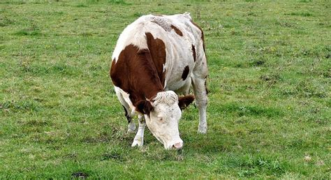 Definition Of Cowhide by Dreams About Cows Meaning And Interpretation