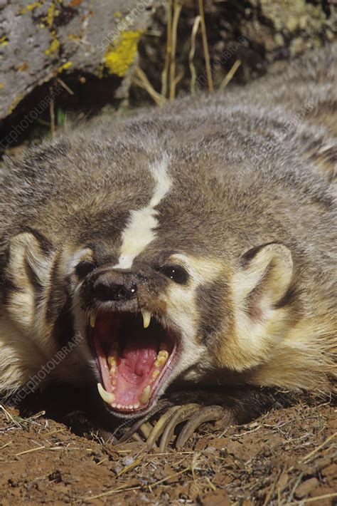 american badger snarling stock image  science