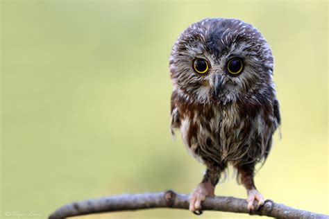 baby owls owl funny cute bird funny and cute animals