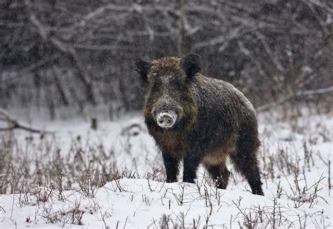 wildschwein im winter forum fuer naturfotografen