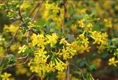golden currant grow native