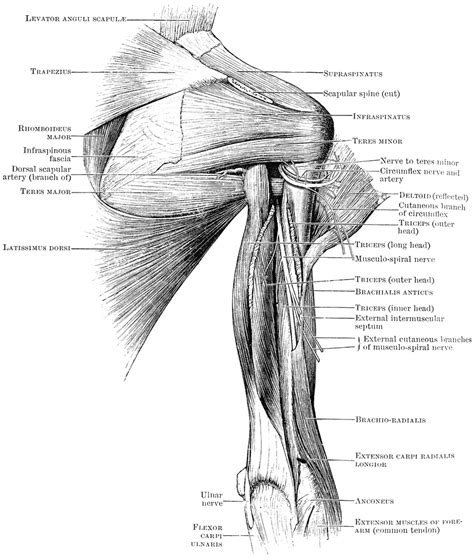 Illustration about deltoids, health, body, male, build, names, frontal, back, fitness muscles diagram front and back below you'll find several different muscles diagrams. Back View of Shoulder Muscles | ClipArt ETC