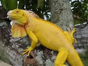 Albino Green Iguana