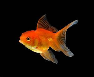 Tips For Fancy Goldfish