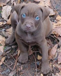 Red Nose American Pit Bull Terrier Puppies