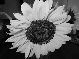 Black & White Sunflower Photos | Literary Spring Designs
