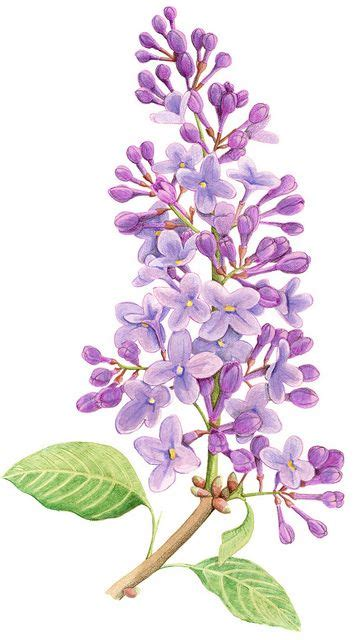 drawn orchid lilac bush pencil   color drawn orchid