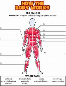 Labeled Muscle Diagram For Kids Human Body Labeled Diagram For Kids Muscles And Bones For Kids