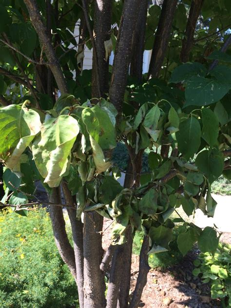 5 year old Japenese Lilac leaves dropping - Ask an Expert