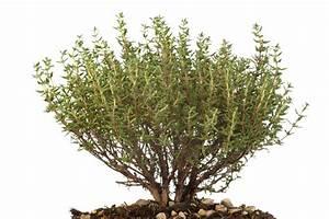 Kräuter Pflanzen Topf : thymian im topf ziehen die wichtigsten tipps zur pflege ~ Lizthompson.info Haus und Dekorationen