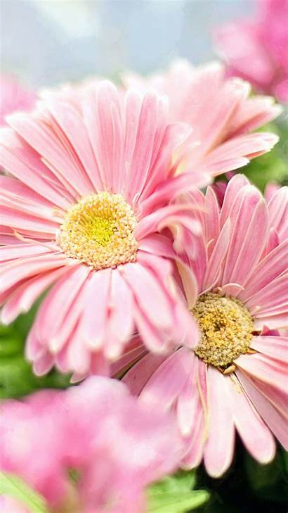 Flower Pink Flowers Wallpapers Android Iphone Gerbera