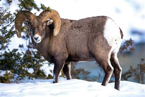 Kā medību programmas nodrošina Eirāzijas kalnu aitas ...