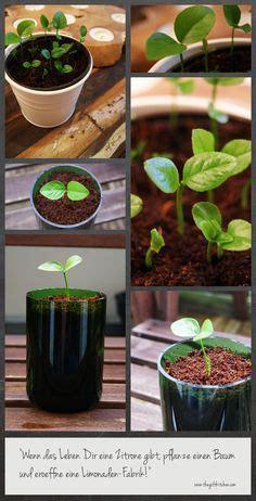 zitronenbaumselbstziehen garten garden plants