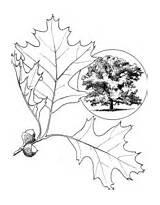 Oak Coloring Eastern Tree Pages Engelmann Pasadena sketch template