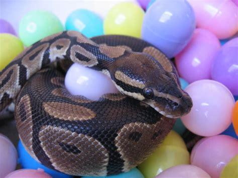 best pet snakes cool cheap pets myideasbedroom com