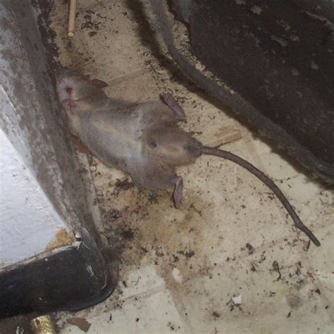 Dead Rat In Wall, Attic, Or Yard  Disease Risks, How To