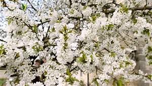 Planter Un Cerisier : quand planter un cerisier jardinerie truffaut tv youtube ~ Melissatoandfro.com Idées de Décoration