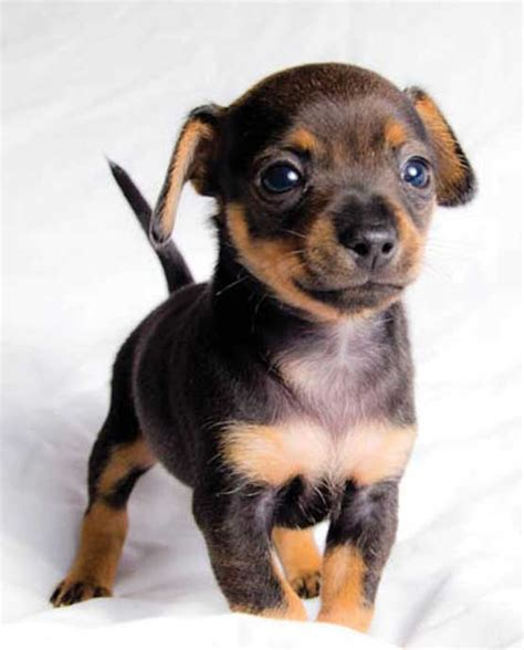 16 cute small dogs that stay small forever magazine8