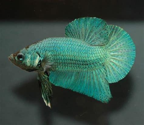 quel aquarium pour un poisson quel aquarium pour un poisson combattant urgent mon poisson combattant va mal marina betta kit