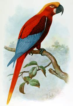 jamaican red macaw wikipedia