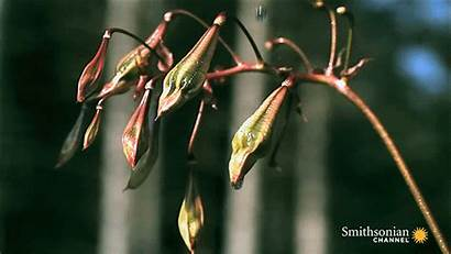 Plants Seeds Exploding Gifs Dispersal Seed Plant