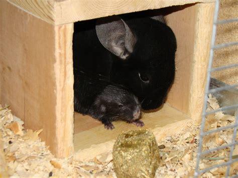 Black and White Baby Chinchilla