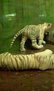 baby white tigers :: wildlife world zoo :: goodyear, az ...