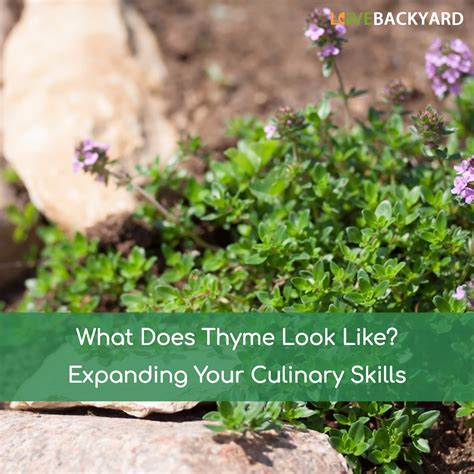 What Does by What Does Thyme Look Like Dec 2018 Expanding Your