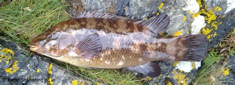 wrasse species britishseafishingcouk