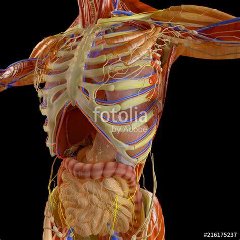 Anatomia Gabbia Toracica - quot corpo umano uomo apparato respiratorio anatomia 3d