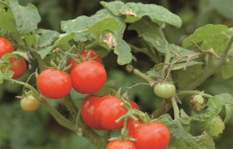 coltivazione pomodori in vaso coltivare i pomodori in vaso fuori di verde