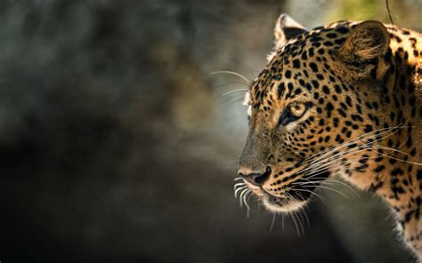 Leopard Animal Wallpaper - leopard hd wallpaper and background image 2560x1600