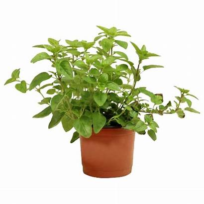 Potted Plants Oregano Simplyfresh