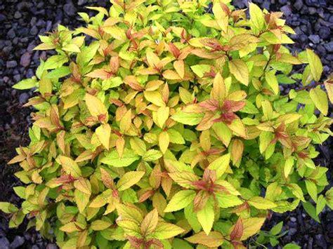 gold leaf spirea spiraea gammon s garden center landscape nursery