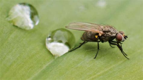 Gegen Fliegen by Hausmittel Gegen Fliegen So Werden Sie Die Plagegeister