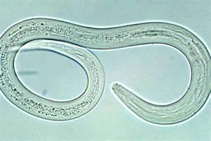 Hookworm - Northshore Veterinary Hospital