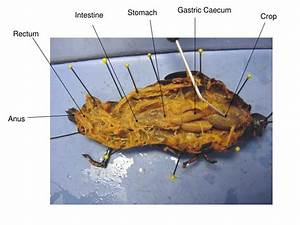 Ppt - Grasshopper Dissection Powerpoint Presentation