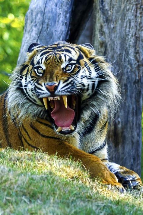 tiger roar  wai kei chuhow  tarzan