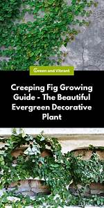 Creeping Fig Growing  U0026 Care Guide