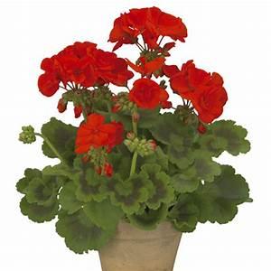 Red Geranium Flower | www.imgkid.com - The Image Kid Has It!