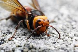 Everything You Need To Know About Asian Giant Hornets