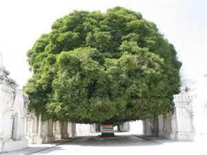 national symbols of india national tree of india banyan tree