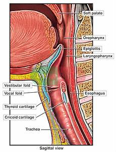 Anatomy Of The Upper Respiratory Tract