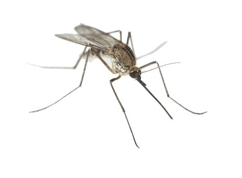 images for mosquito mosquito png
