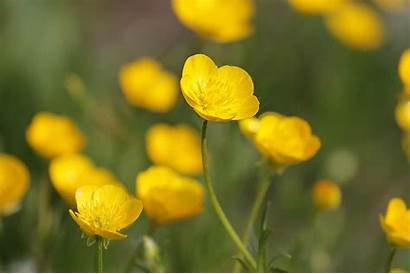 Buttercup Flower Morflora Facts Bright Truth