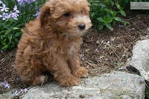 Meet Rocky a cute Chi-Poo - Chipoo puppy for sale for $150 ...