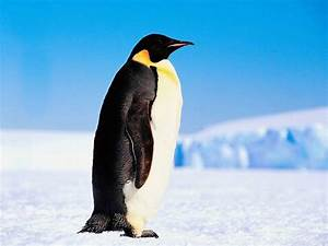 Pingouin Sur La Banquise : hollande ou le pingouin sur la banquise policom ~ Melissatoandfro.com Idées de Décoration